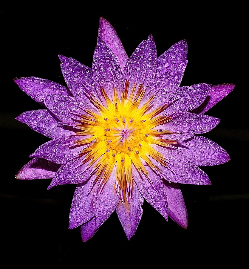 by Kh Lam - Flowers Single Flower (  )