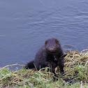 American mink, Norka amerykańska