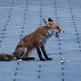 London Urban Fox Project