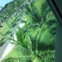 Coconut Plam
