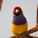 Gouldian Finch - Red-Headed Male