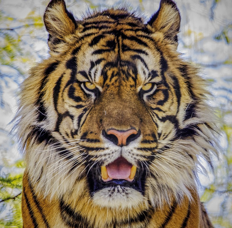 I'm Ready to Eat by Doug Armstrong - Animals Lions, Tigers & Big Cats (  )