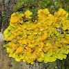 Common orange lichen