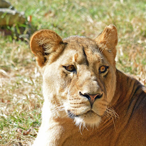 Lioness  by Carolyn Parks - Animals Lions, Tigers & Big Cats