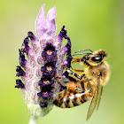 Honeybee (on lavender)