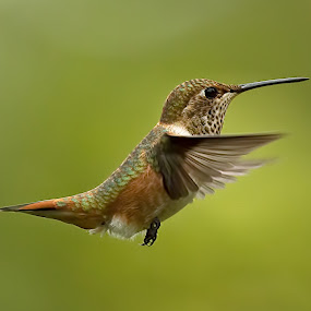 Hummingbird - Rufus by Sheldon Bilsker - Animals Birds ( bird, nature, hummingbird, rufus, animal )