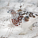 Willow Ptarmigan, (Autumn)