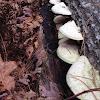 Shelf fungus