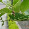 Bagworm Moth larva
