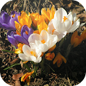 Crocus Spring Flowers icon