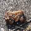 Galapagos Hermit Crabs