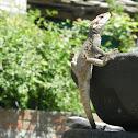 Himalayan mountain lizard
