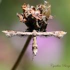 Lantana Plume Moth