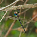 Swamp Darner dragonfly (male)