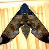 Fig Moth