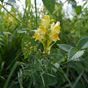 Common Toadflax, Leinkraut