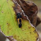 Nymph Ladybug
