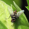 Leafroller Tachinid (Fly)
