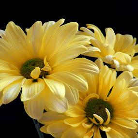 Three Yellow Beauties by Kathy Rose Willis - Flowers Flower Arangements ( yellow flowers, bright, sunny,  )