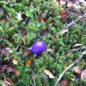 Purple pouch fungus