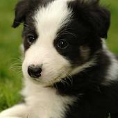 Dog Puzzle: Border Collie