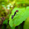 Red-headed Ant