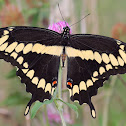Eastern Gaint Swallowtail