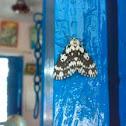 An unknown Moth ( एक अज्ञात पतंगा )