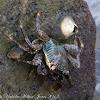 Mottled Lightfoot Crab