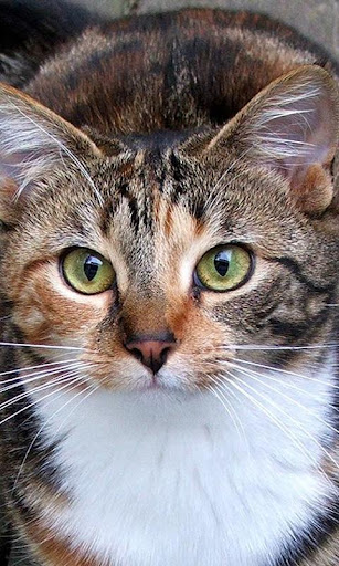 べっ甲猫の壁紙