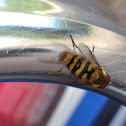 Syrphid Fly or Flower Fly