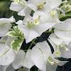 variegated Bougainvillea
