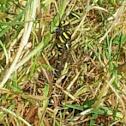 Golden ring dragonfly