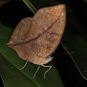Blue Oakleaf Butterfly