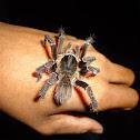 Araña pelua