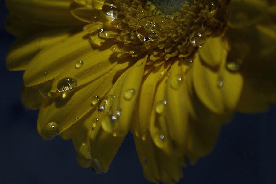 Morning dew by Frøydis Folgerø - Flowers Single Flower ( dew, dark, yellow, morning, light, flower )