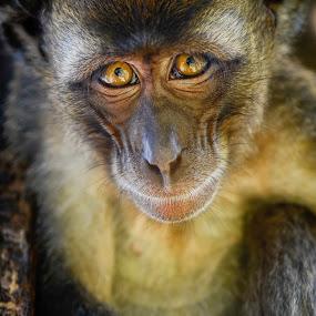 Monkey eyes by Jeremy Mendoza - Animals Other Mammals ( serious, monkey, mammal, animal, eyes,  )