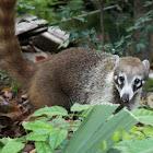 Coati (juvenile)
