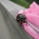 Dark Lyric Cicada