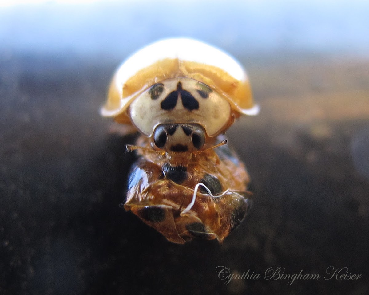 (Newly emerged) Asian Ladybird Beetle