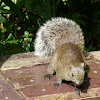 Red-bellied Tree Squirrel