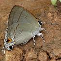 Common Tit