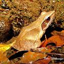 Bronzed frog