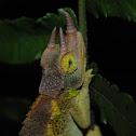 Jackson's Chameleon