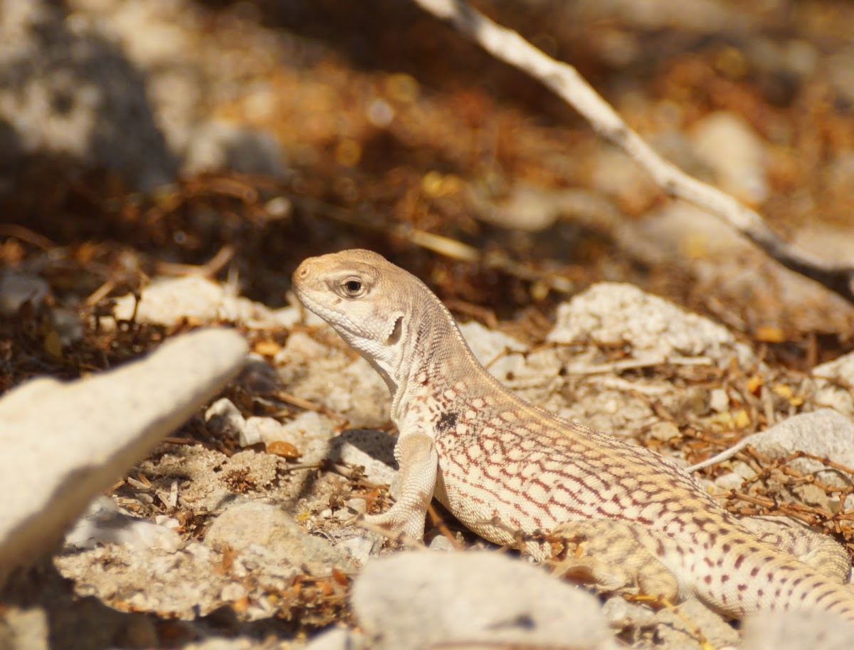Northern Desert Iguana