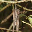 Bagworm Moth Case