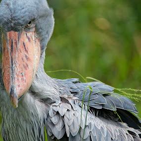 Angry bird from Singapore Bird Park by Foo Fok - Animals Birds