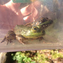 American Bullfrog and Green Frog