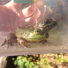 American Bullfrog and Green Frog