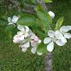 Pear/Apple flower